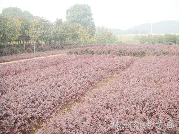 红花继木苗1