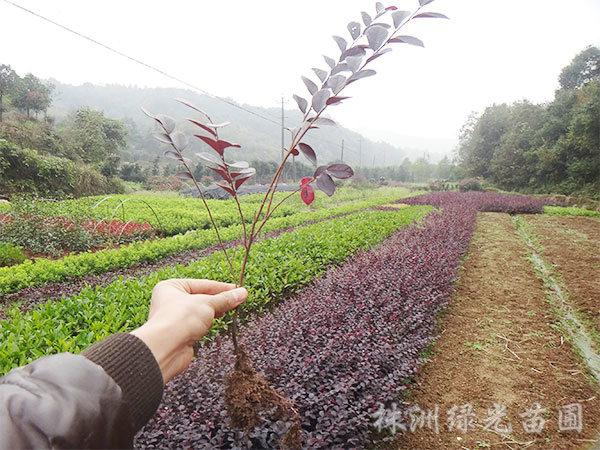 红花继木苗2