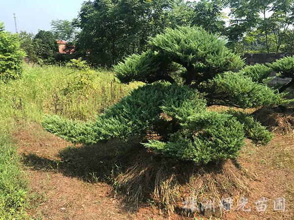造型柏树2