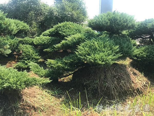 造型柏树3