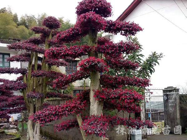红花继木桩2